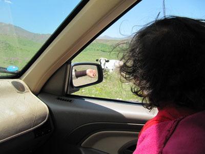 طبیعت طالقان - ریحانه به گاو خیره شده